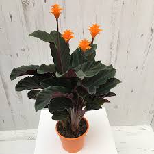 plant delivery buy eternal calathea crocata tassmania delivery by crocus