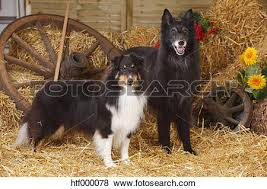 belgian sheepdog artwork pictures of sheltie shetland sheepdog and groenendael belgian