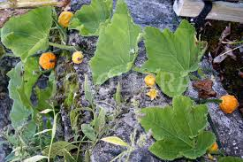 ornamental gourds growing on a wall