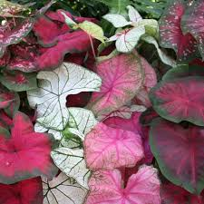 caladium bulbs direct from the grower