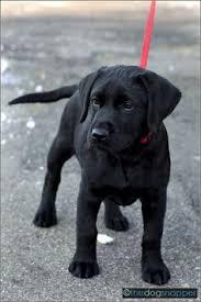 black labrador cutie ruff black
