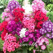 phlox flower 2017 phlox flower mixed color 100 seeds dwaf diy home garden