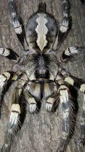 poecilotheria striata mysore ornamental arachnoboards