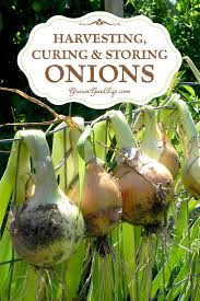 harvesting curing and storing onions storing onions bone