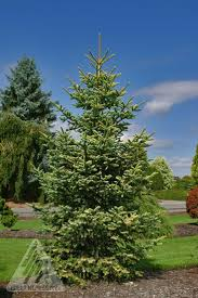 Nordmann Fir Christmas Tree Nj by 8 Best Arvores Folha Persistente Coniferas Images On Pinterest