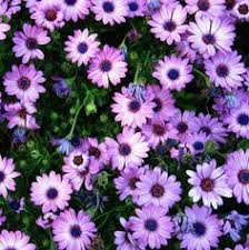 trailing african daisy google search outdoor living