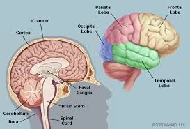 Photos Of Human Anatomy Brain Human Anatomy Picture Function Parts Conditions And More