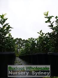native plant nursery terrey hills murraya paniculata large orange jasmine 300mm pot advanced