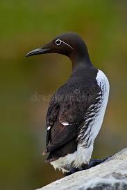 si e habitat uria comune aalge di uria uccello sveglio in bianco e nero artico