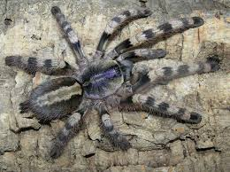 14 best tarantulas images on spiders centipedes and