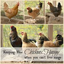keep your chickens happy when you can u0027t free range oak hill