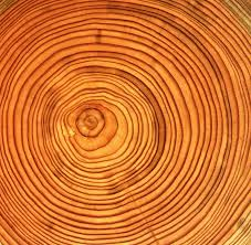 wood tree rings images Put a ring on it stories of tree coring environmental brigade jpg
