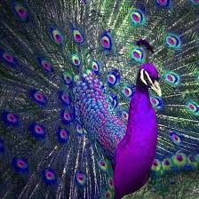 i think peacocks are so beautiful even more so if they were this