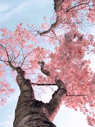 sakura in bloom beautiful gardens pinterest sakura cherry