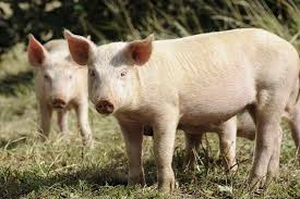 Lost In My Own Backyard Raising Pigs For Meat In Your Own Backyard Countryside Network