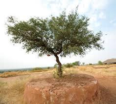 the dying khejri trees of rajasthan the hindu