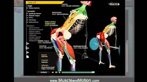 Joints Human Anatomy Deadlift Anatomy Learn The Proper Movement Of The Joints Muscles