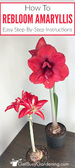 amaryllis flower rebloom your amaryllis bulbs how to make amaryllis bloom again