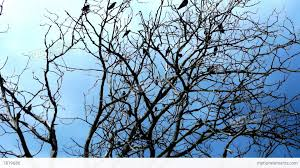 crows in a tree on a background of blue sky stock
