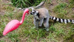 tacky lawn ornaments reborn as lemurs best friends mnn