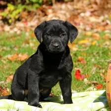 belgian shepherd labrador retriever mix puppies for sale in ohio greenfield puppies