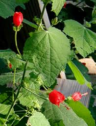 turks cap s cap a bloomer for the hot summer