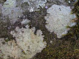 algae lichens and mosses on plants pacific northwest pest