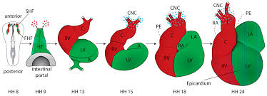 jcdd free full text the early stages of heart development