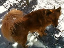 australian shepherd eskimo spitz mix featured dog finnish spitz the dogs of san franciscothe dogs of