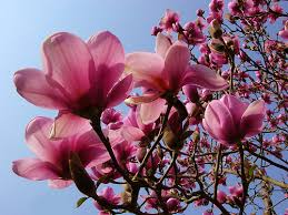 magnolias my favorite flower can t wait to plant these in my