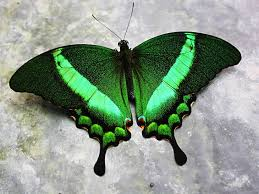 Blue And Green Butterfly - green butterfly free clip free clip on