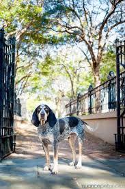 bluetick coonhound obedience bluetick coonhound blue tick hound hunting pinterest