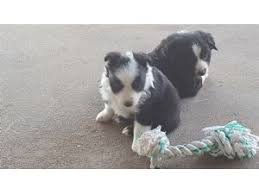 australian shepherd yorkie mix for sale miniature australian shepherd breed information u0026 pictures toy