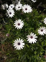 native plant species white african daisy dimorphotheca pluvialis is a plant species
