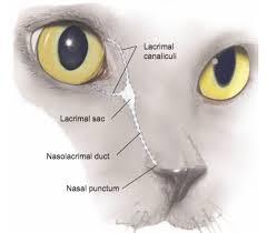 Eye Ducts Anatomy Eye Opener Anatomy Glands