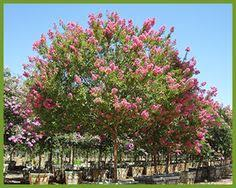 one of the most adaptable crape myrtles plant them anywhere