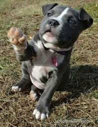 american pitbull terrier 4 weeks best 10 pit bull puppies ideas on pinterest blue pit puppies