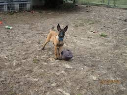 belgian sheepdog rescue ohio menno u2013 bobbi and the strays pet rescue