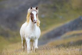 hairstyles for horses photographing corralling of icelandic horses in the north