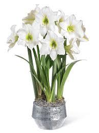 christmas gift white amaryllis trio gardener u0027s supply