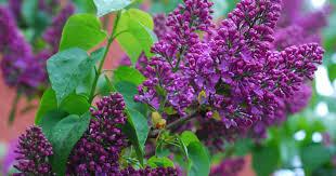 hoosier gardener take care not to trim next year u0027s flowers from