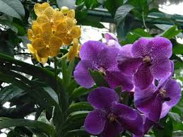 vanda orchids vanda orchids picture of national orchid garden singapore