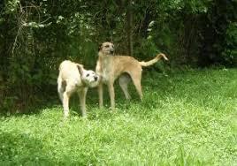 afghan hound ireland thelma u0026 louise afghan hound club of america u2013 national rescue