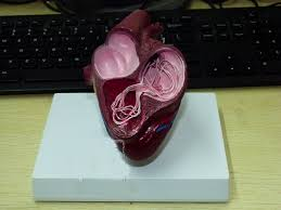 Dog Anatomy Heart Dog Amp Picture More Detailed Picture About Dog Heart Model
