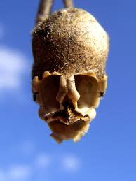 the s skull the macabre appearance of snapdragon seed pods