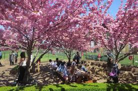 where to celebrate cherry blossom season in nyc cbs new york