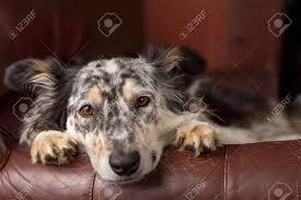 fauteuil de malade border collie berger australien chien sur fauteuil canapé en