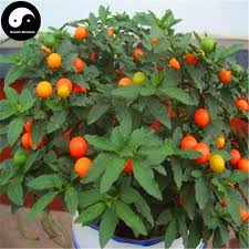 2017 buy solanum pseudocapsicum tree seeds plant photinia