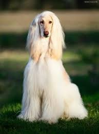 afghan hound pictures best afghan hound photos 2017 u2013 blue maize