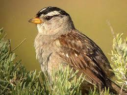 backyard bird identification sparrows finches